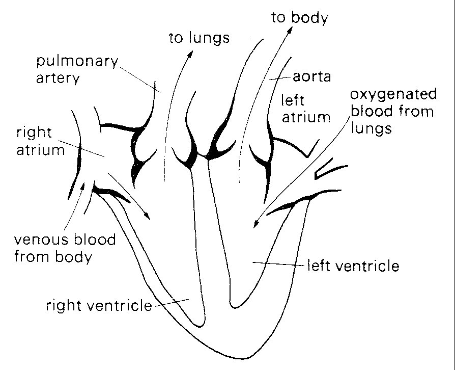 Chapter 11 diagrammatic representation of anatomy and directions of blood flow in the heart septum the veins draining into them communicate with them without valves ccuart Choice Image