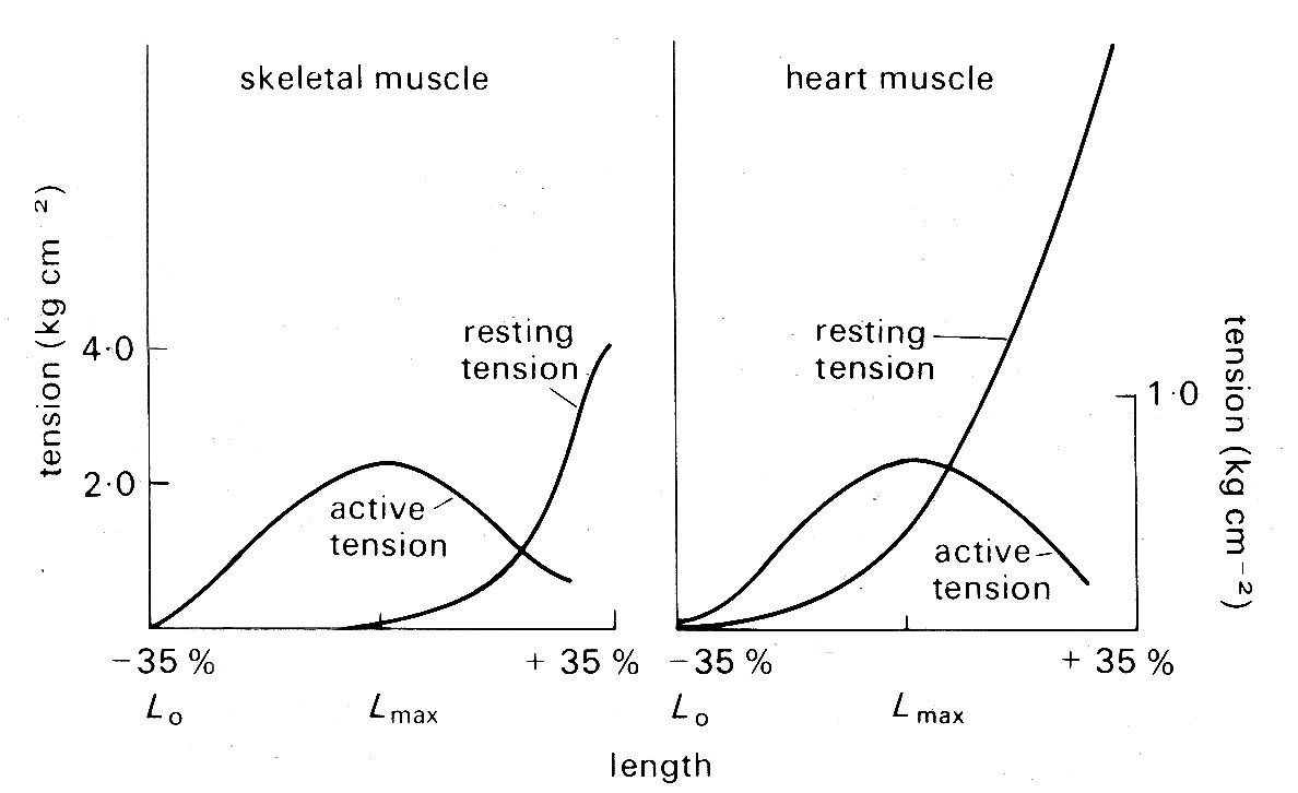 relationship between active tension and muscle length